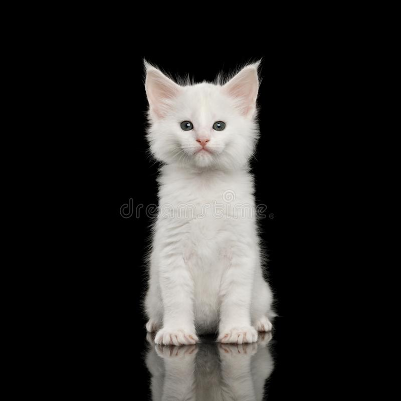 Peu Maine Coon Kitten Isolated blanche sur le fond noir photographie stock libre de droits