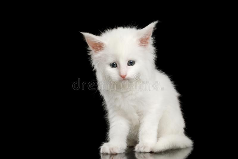 Peu Maine Coon Kitten Isolated blanche sur le fond noir image stock