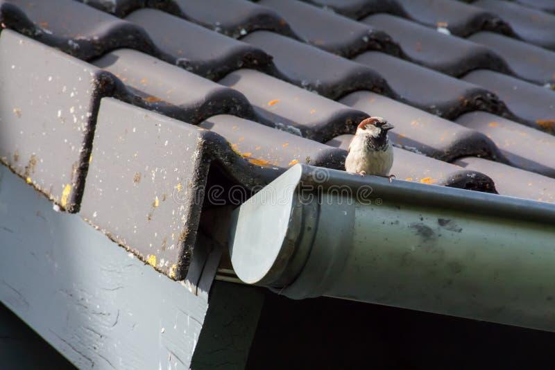 Peu moineau sur le toit d'une maison image stock