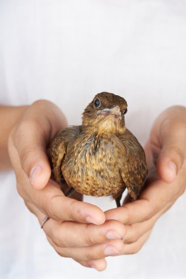 Peu oiseau dans des mains humaines image libre de droits