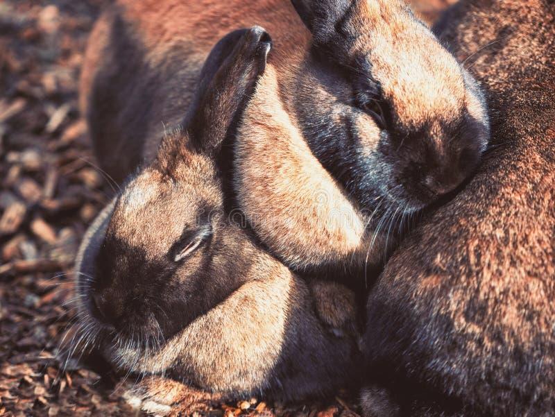 Peu petits lapins bruns caressant ensemble photos stock