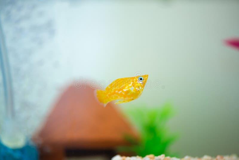 Peu poissons d'aquarium populaire, latipinna de Poecilia dans l'aquarium ou aquarium photo stock