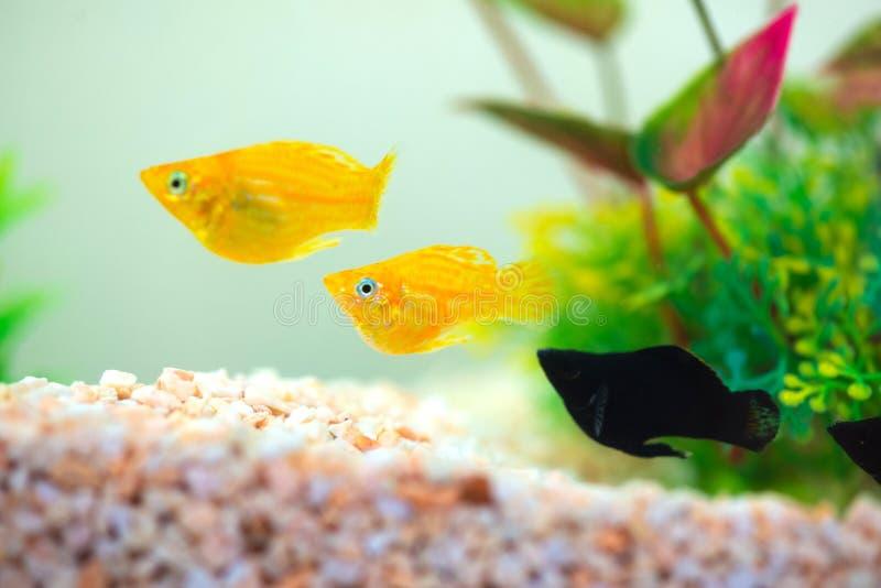 Peu poissons d'aquarium populaire, latipinna de Poecilia dans l'aquarium ou aquarium image libre de droits
