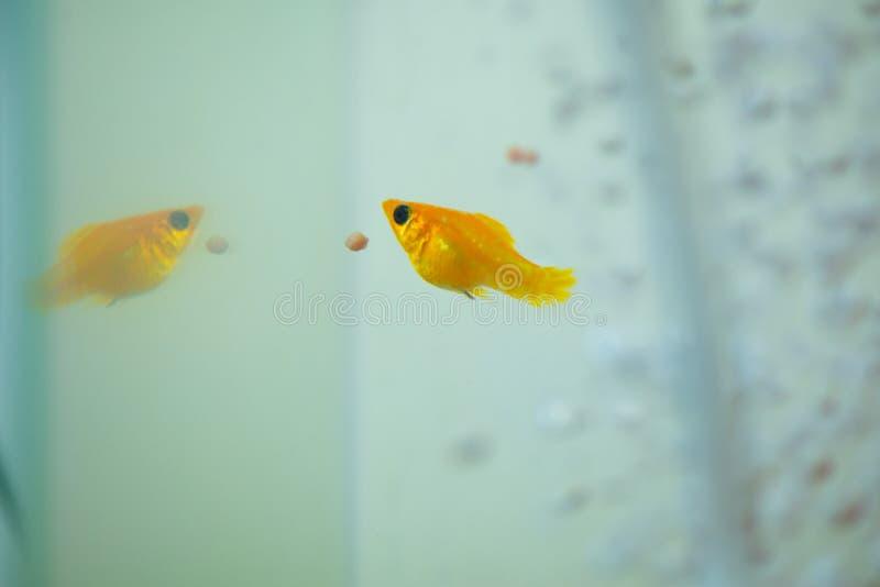 Peu poissons d'aquarium populaire, latipinna de Poecilia dans l'aquarium ou aquarium photographie stock