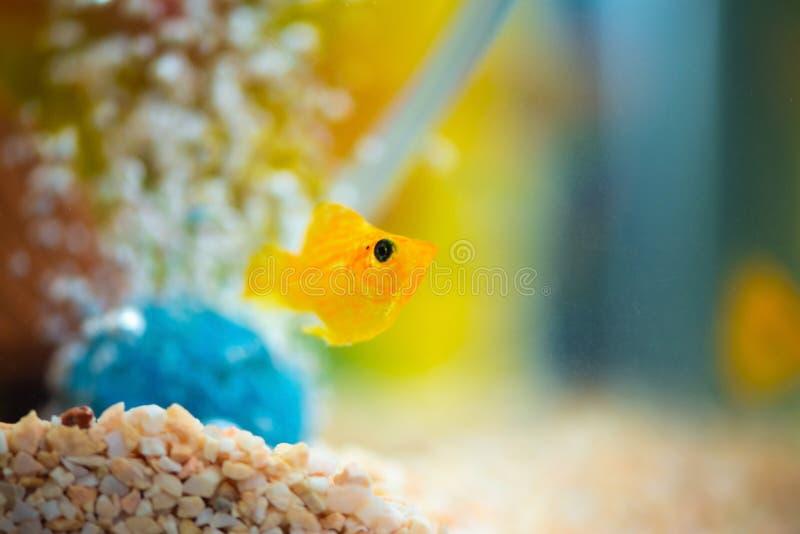 Peu poissons d'aquarium populaire, latipinna de Poecilia dans l'aquarium ou aquarium photo libre de droits