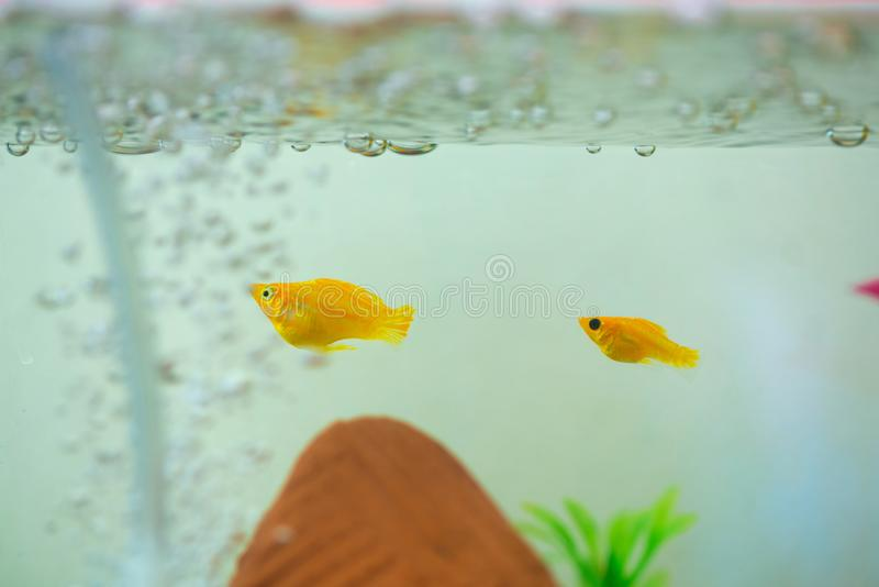 Peu poissons d'aquarium populaire, latipinna de Poecilia dans l'aquarium ou aquarium photos stock