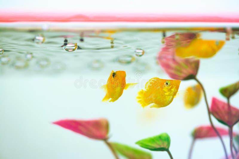 Peu poissons d'aquarium populaire, latipinna de Poecilia dans l'aquarium ou aquarium photos libres de droits