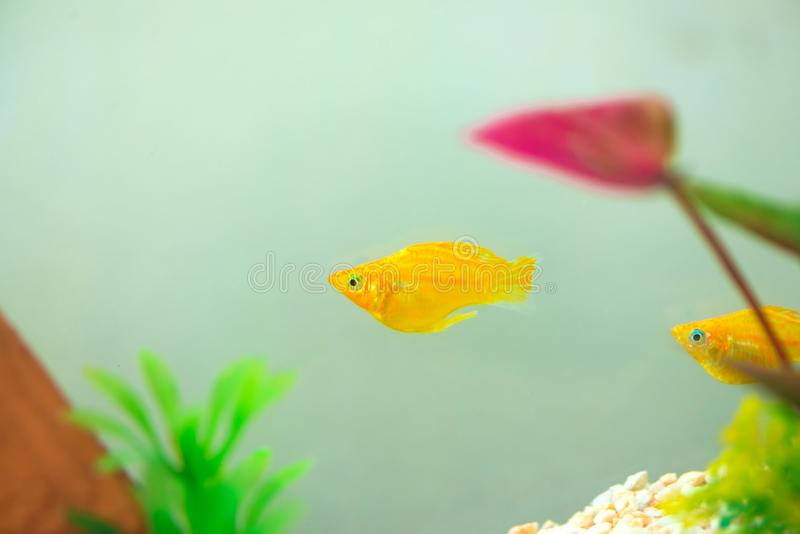 Peu poissons d'aquarium populaire, latipinna de Poecilia dans l'aquarium ou aquarium images libres de droits