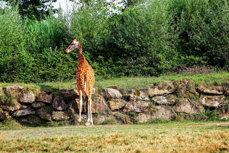 Peu position de girafe devant un mur dans un espace fermé photo stock