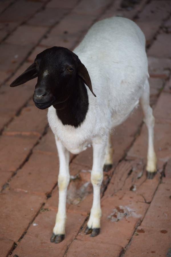 Peu position mignonne de moutons de point noir photographie stock
