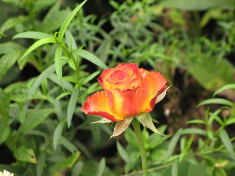 Peu rose orange images libres de droits