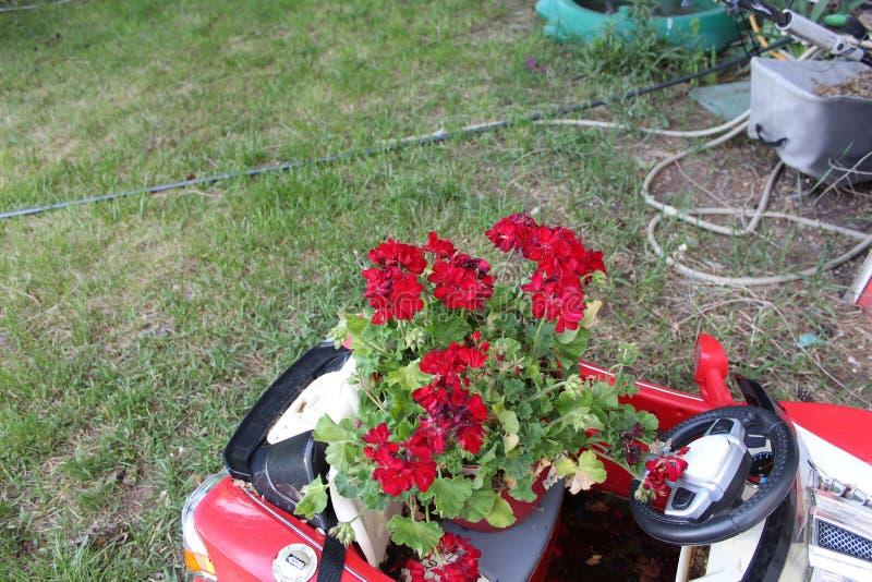 Peu se ferment vers le haut de la rose rouge-foncé pourpre r images libres de droits