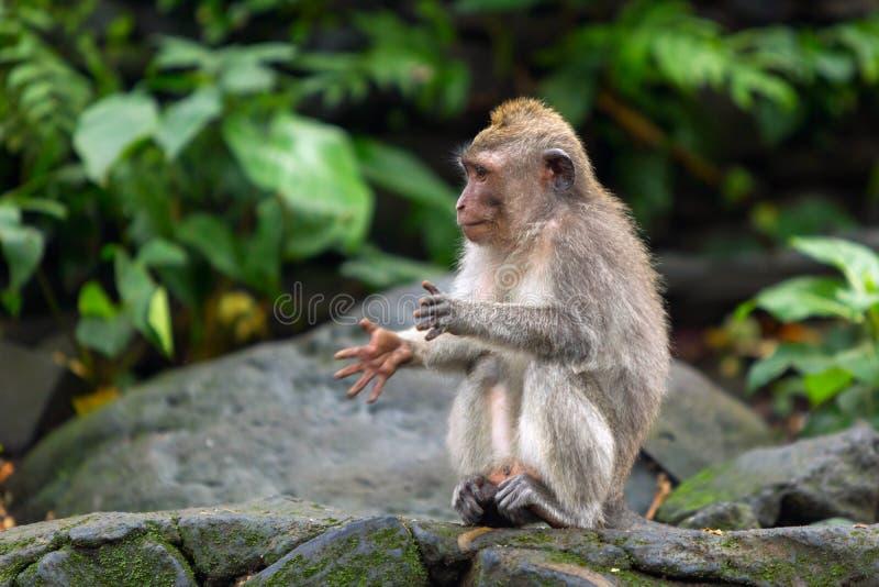 Peu singe battant ses mains se reposant sur une roche dans la jungle images libres de droits