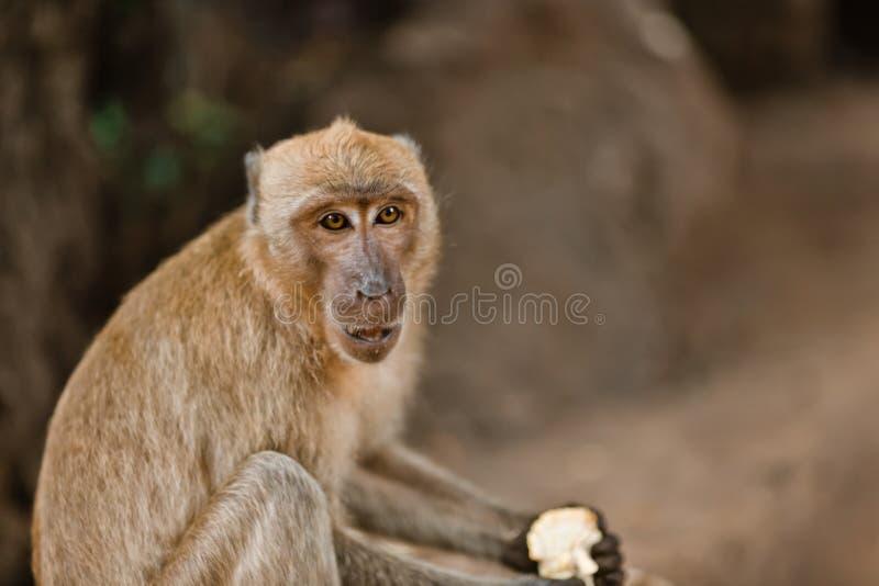 Peu singe mangeant sur une roche dans la jungle de la Thaïlande photo libre de droits