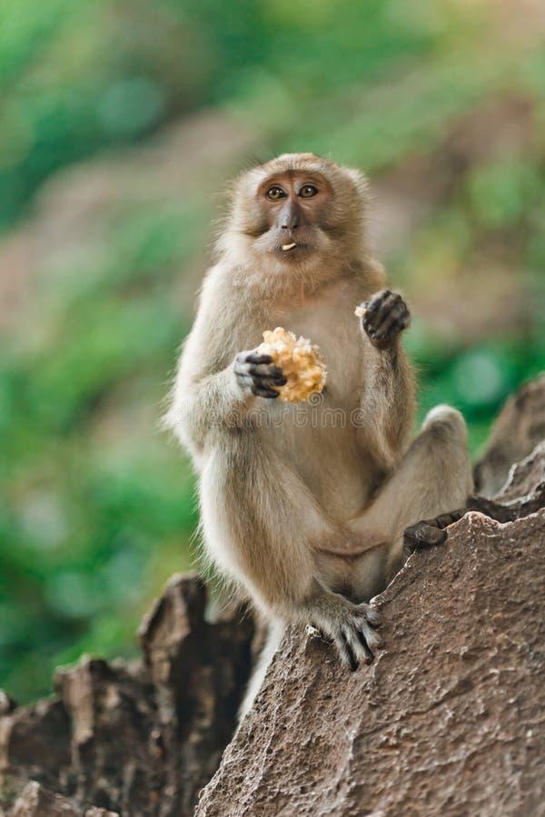 Peu singe mangeant sur une roche dans la jungle de la Thaïlande image libre de droits