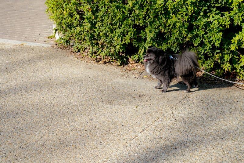 Peu spitz noir - pomeranian avec la ligne de corde, représente attendre quelque chose au parc extérieur photo stock