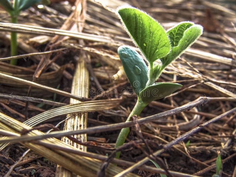 Peu usine verte de soja au Brésil photographie stock