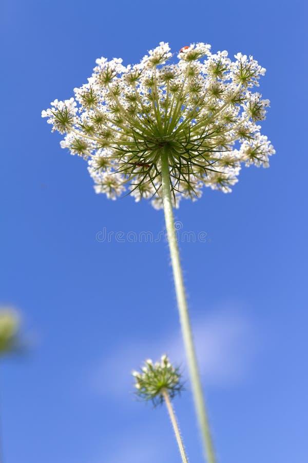 Peucedanum del pantano de la inflorescencia en fondo del cielo azul fotografía de archivo