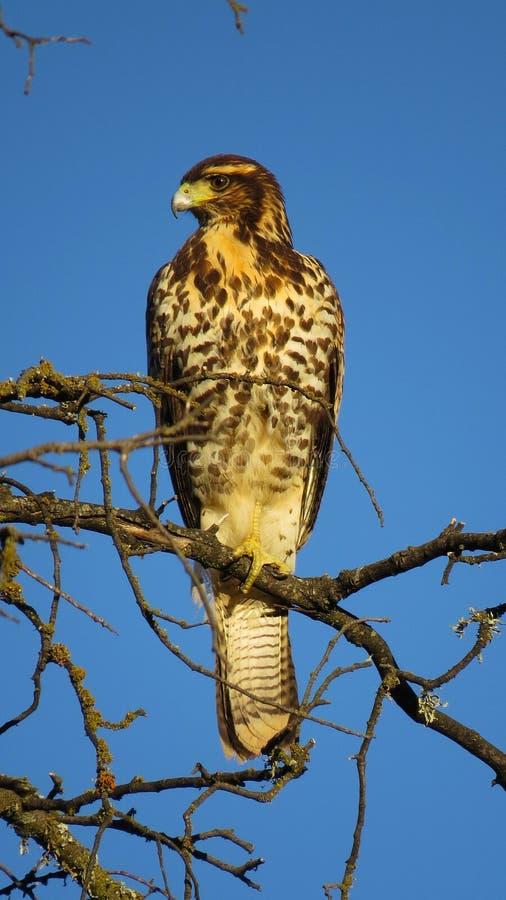 Peuco - Aguila - Suramérica imágenes de archivo libres de regalías