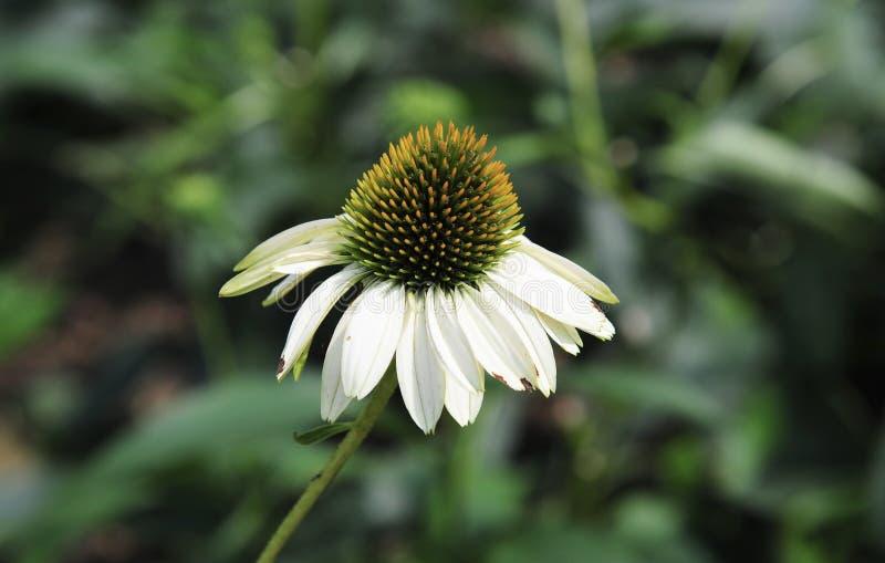 Peul van Mooie Witte en Groene Daisy stock afbeeldingen