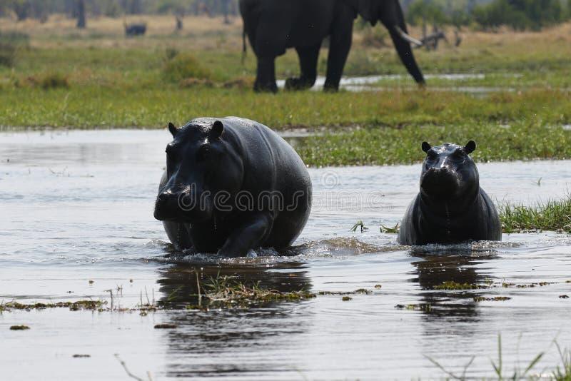 Peul van nijlpaarden stock afbeelding
