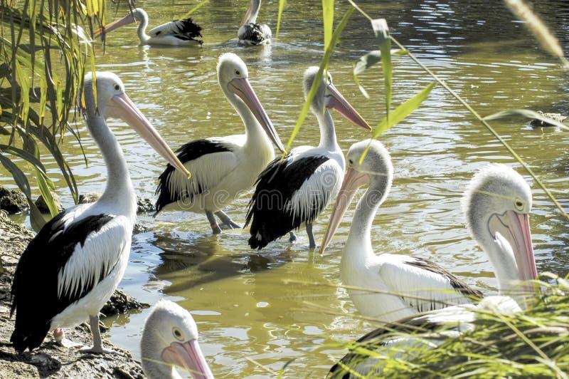 Peul van Pelikanen op de rivier royalty-vrije stock foto's