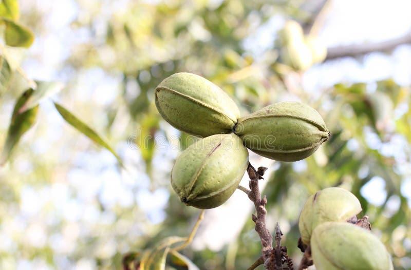 Peul van rijpe pecannootnoten in groene shell op tak van boom royalty-vrije stock foto's