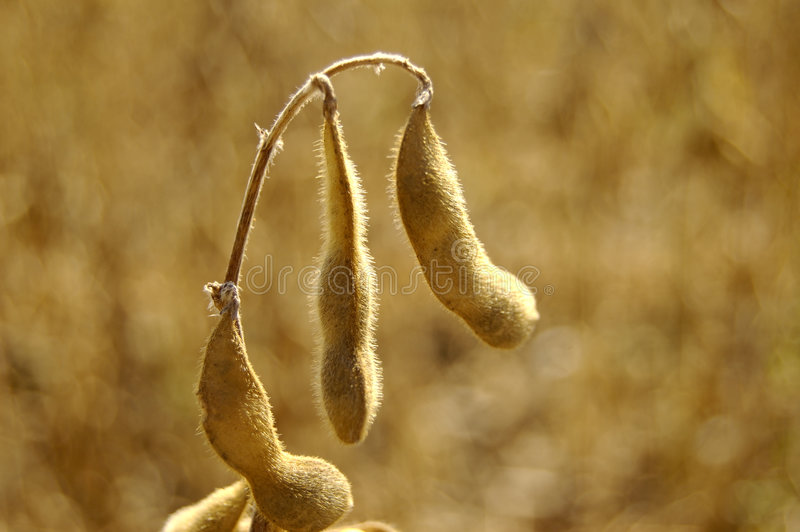 Peulen 1 van de sojaboon stock afbeelding