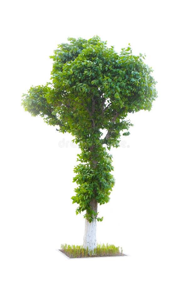 Peuplier d'arbre d'isolement sur le blanc photographie stock