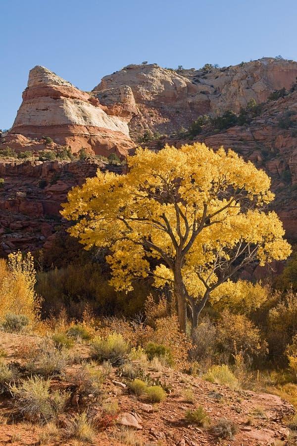 Peuplier d'automne photographie stock