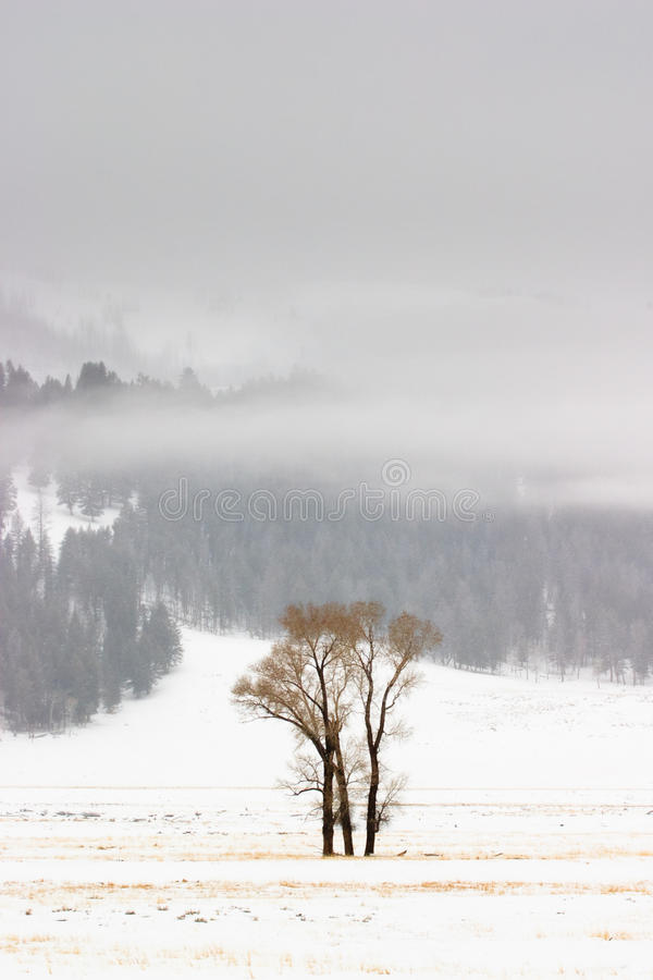Peupliers de l'hiver, Yellowstone images stock