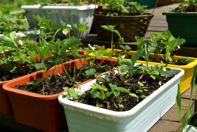 Peuten met aardbeienzaailingen in de tuin op zonnige dag stock foto's