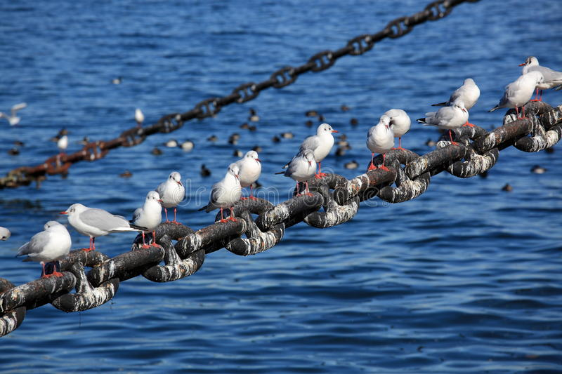 Download Pewit gull stock image. Image of blue, pewit, chain, flying - 30996351