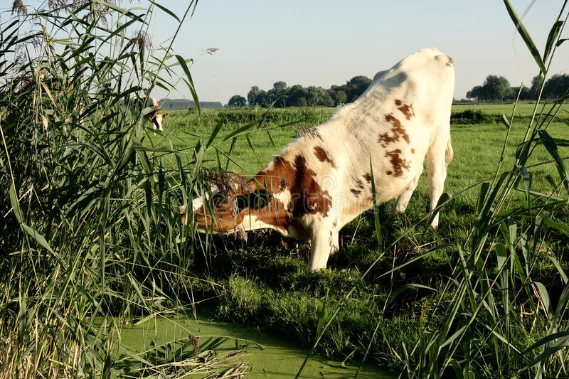 ΑΦΙΕΡΩΣΗ ΔΗΜΟΣΙΩΝ ΤΟΜΕΩΝ - Pexels digionbew 18 07-09-16 αγελάδα μέχρι τις μασχάλες στη λάσπη ΧΑΜΗΛΟ RES DSC01739 στοκ εικόνα