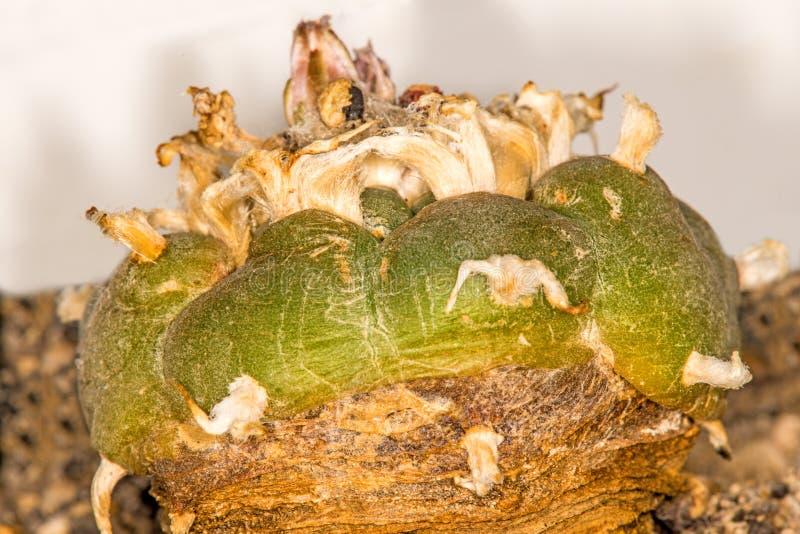 Peyote, cactus ritual fotografía de archivo libre de regalías