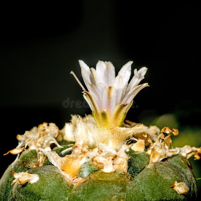 Peyote, cactus ritual imagenes de archivo