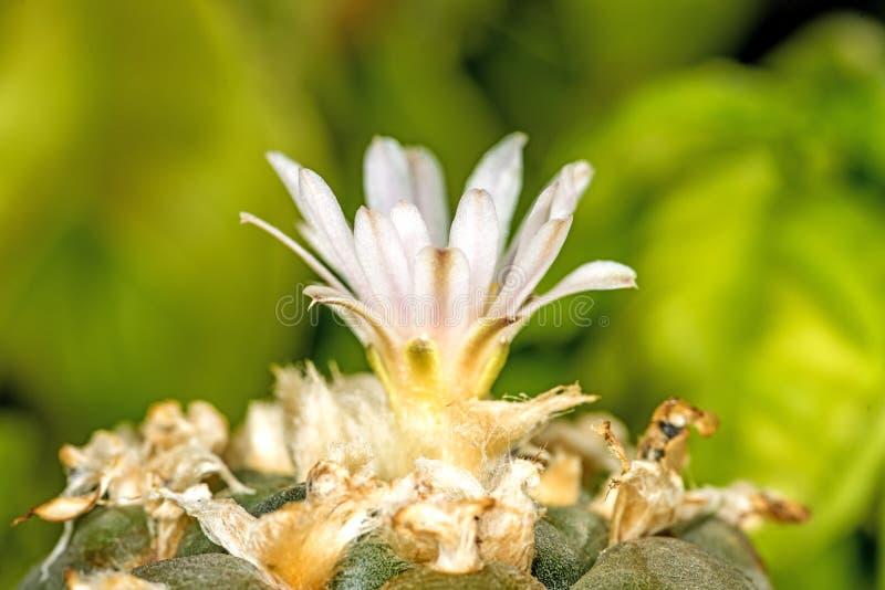 Peyote, cactus ritual imágenes de archivo libres de regalías