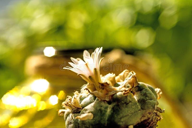 Peyote, cactus ritual con la flor imagen de archivo libre de regalías