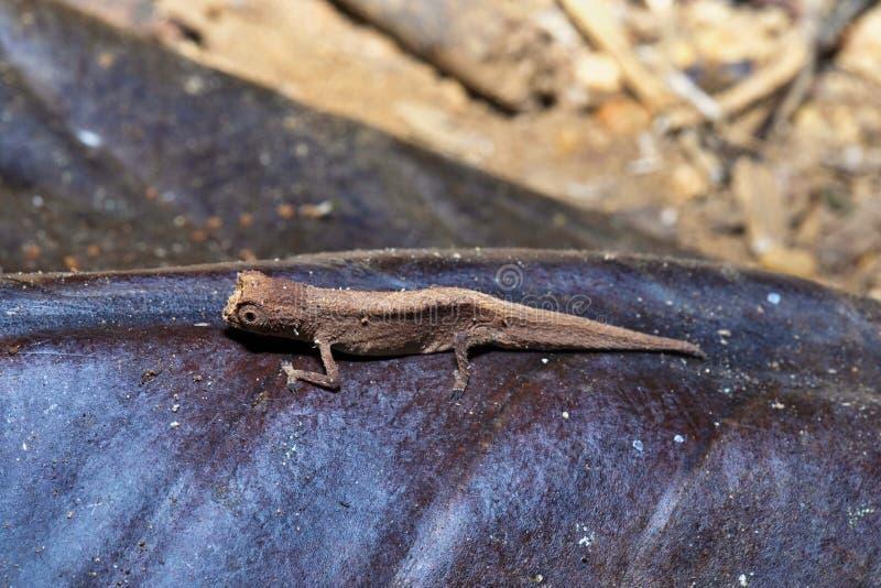 Peyrieras ` pigmejowy kameleon, Brookesia peyrierasi, Nosaty Mangabe, Madagascar zdjęcia royalty free