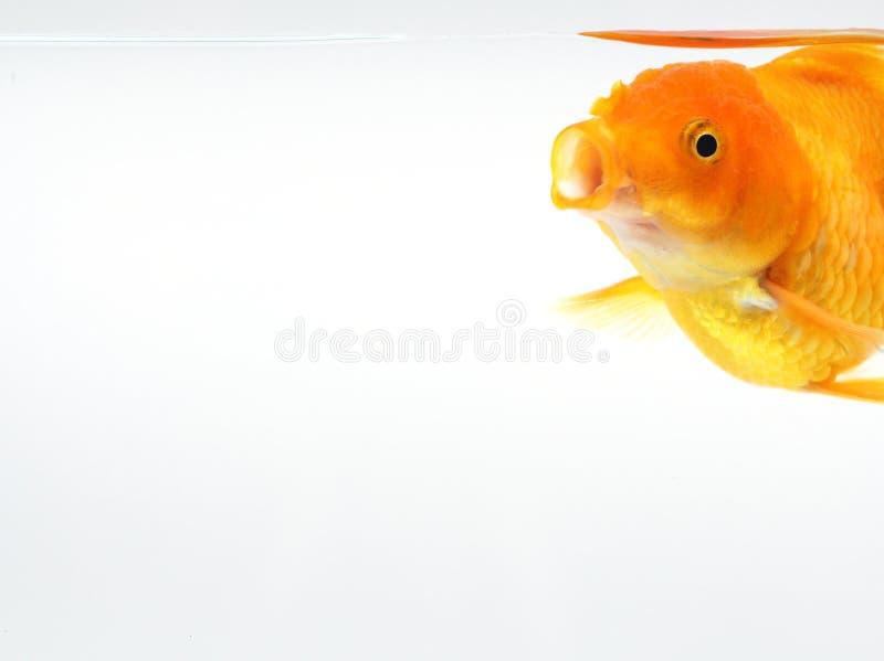 Pez de colores abierto su boca, pescado del oro en el fondo blanco del aislante fotografía de archivo libre de regalías