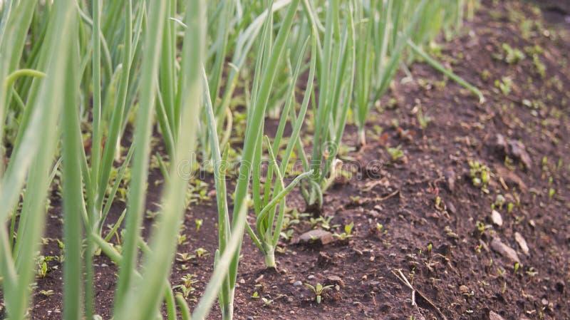 Pezzo di terra coltivato alle cipolle fotografia stock