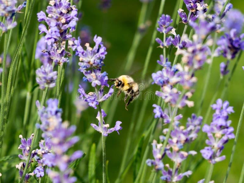 Pezzo di terra coltivato a e farfalle la lavanda fotografie stock