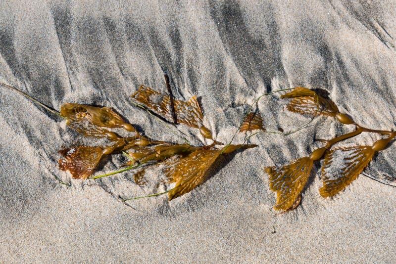 Pezzo lacerato di fuco di Brown del gigante sulla spiaggia fotografia stock libera da diritti