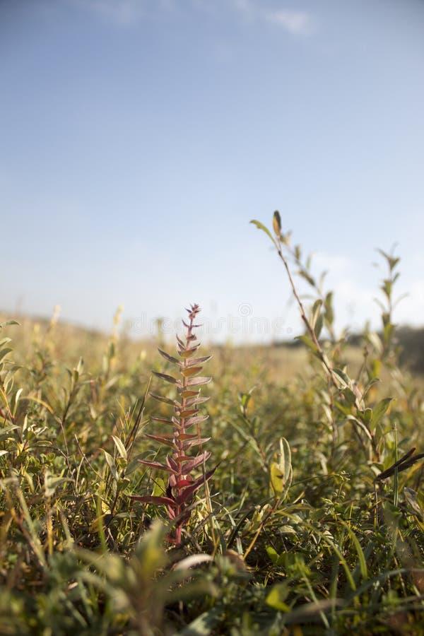 Pezzo singolo di erba scolorita fotografie stock libere da diritti