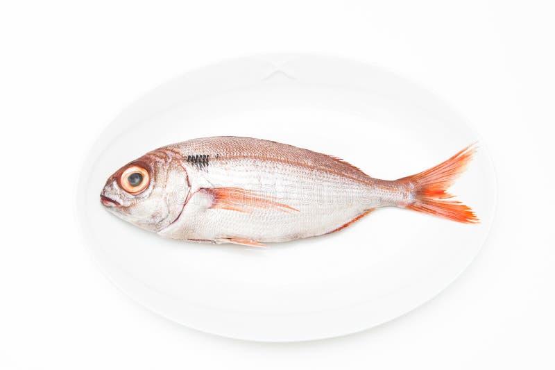 Pezzogna fish, variety of seabream, white background. Pezzogna fish, variety of seabream, on white plate and white background stock photos
