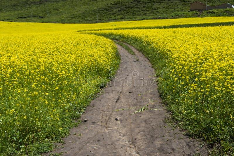 Download Pfad Auf Dem Gelben Blumengebiet Stockbild - Bild von betrieb, grün: 27731507