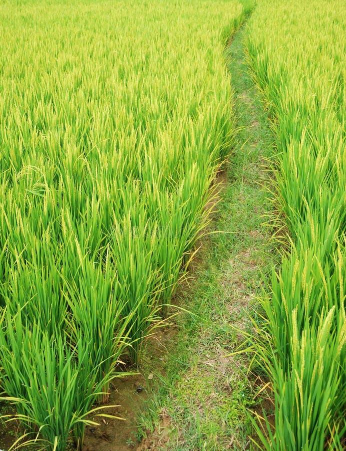 Pfad auf den Paddygebieten lizenzfreie stockbilder