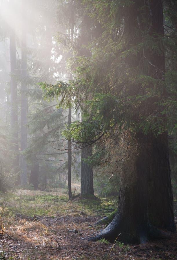 Pfad, der herbstlichen nebelhaften Wald kreuzt stockbild