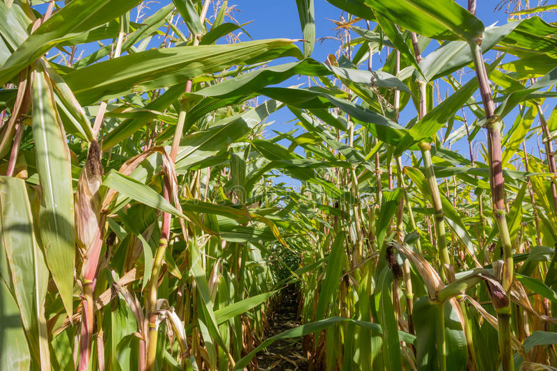 Pfad durch ein großes Getreidefeld lizenzfreie stockbilder