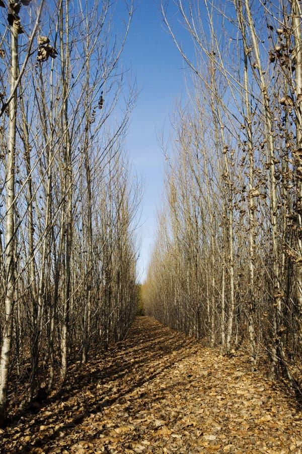 Pfad durch hohe Bäume lizenzfreie stockbilder